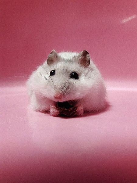 Pink Background One Animal Pink Color Animal Themes Hamster 💞
