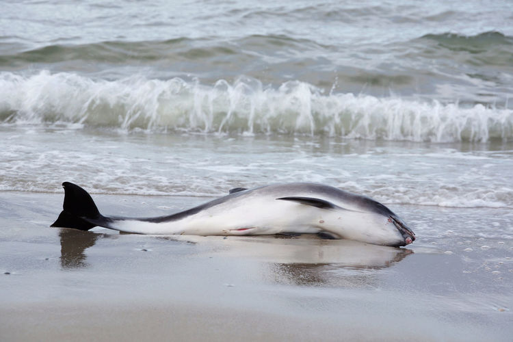 Dead whale or dolphin at the beach of Norderney, Germany Animal Themes Animal Wildlife Animals In The Wild Aquatic Mammal Beach Death Death Valley Delphin Dolphin Environment Environmental Issues Mammal Nature No People Outdoors Sad Schweinswal Sea Sea Life Wales Water Whale