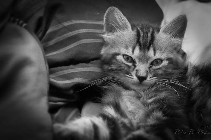Cat Kitten Cute Pet B&w Portrait