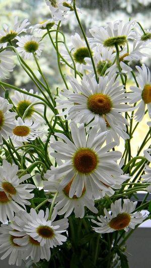 Bethlehem Holyland Rose🌹 White iris