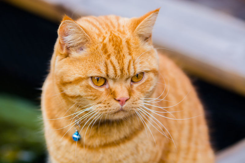 Cute cat Cat Cats Cat Photography Cat Lovers Cat Family Ginger Cat Ginger Hair Ginger British Shorthair British Shorthair Cat Domestic Cat Cute Cats Cute Cat Family Cat Pet Portraits Pet Photography  Pets Pet Yellow Eyes Yellow Eyed Cat Kitten Kitty Kitty Cat Meow