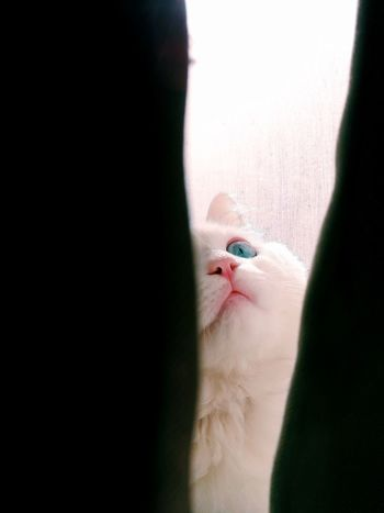 Lovely cat 🐱❤ Cat Face Cat Photography Icey 😻 Beatiful Cat Lovely Cat 😻 Domestic Animals Domestic Cat Domestic Icey 😻 Cat Cat Lovers Cateyes Cat Eyes Cat Lovers 🐱💞 Cats Of EyeEm Cute Pets Cat Looking Up Eyesblue Blue Eyes Close-up Sunlight ☀ Morning Light My Cat♥ Pets Photography