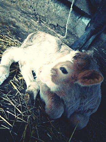 Verybeautiful Cute Calf Eyeem Best Shots - Animals
