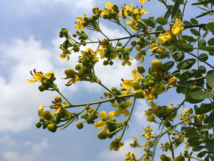 Herb Leguminosae Natural Nature Plant Senna Siamea Thai Copper Pod Tree Beauty In Nature Bloom Blooming Blossom Branch Cassod Tree Cloud - Sky Day Flora Floral Flower Flower Head Food Food And Drink Freshness Fruit Green Color Growth Herbal Leaf Nature No People Outdoors Petal Plant Sky Tree Vegetable Yellow