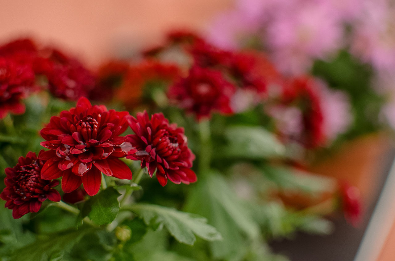 CLOSE-UP OF RED FLOWERS AND PLANTS