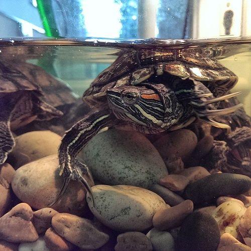 Виявилось що в магазині тканин живуть такі черепашки :-). черепаха Turtle