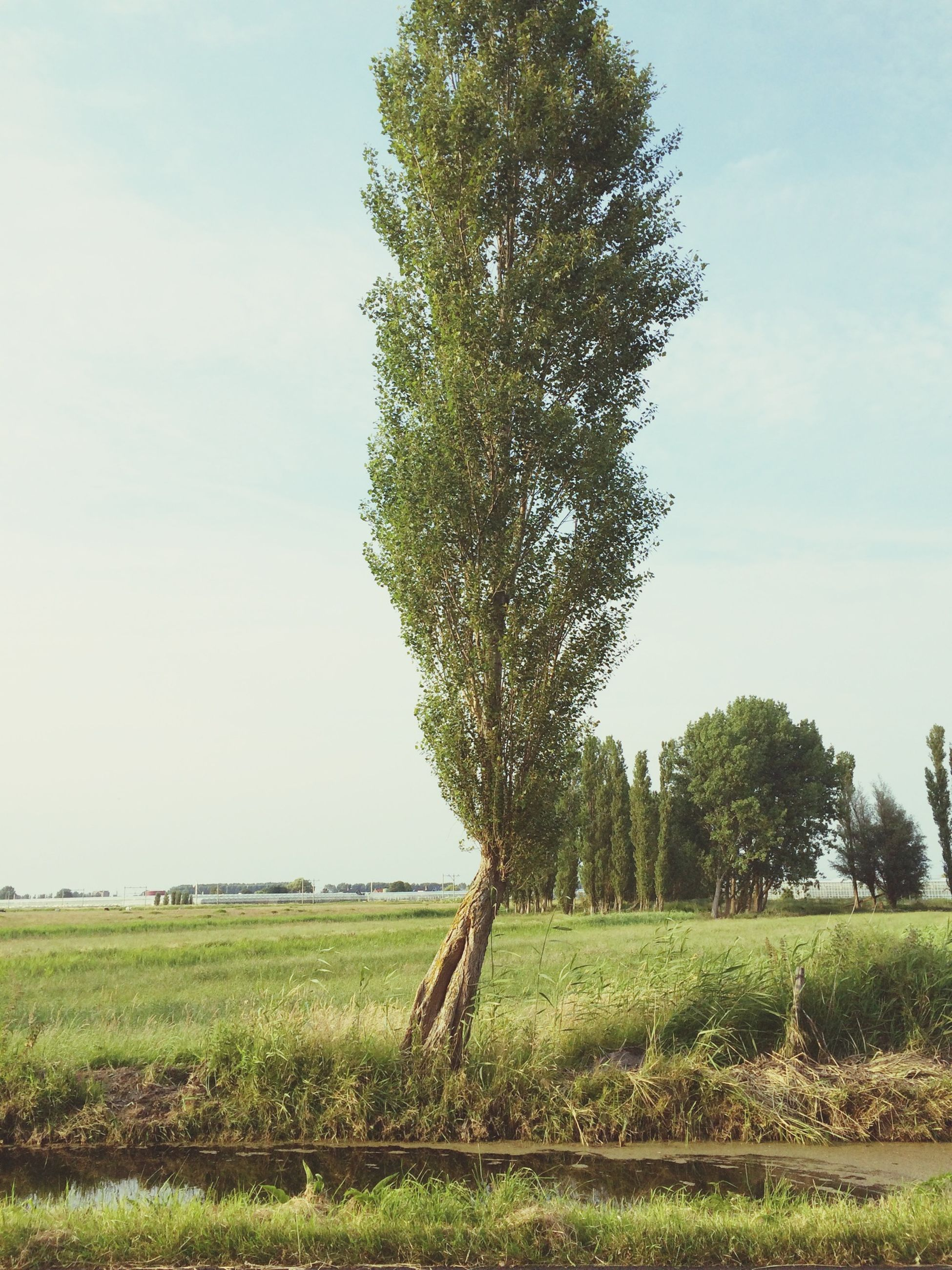 grass, tree, field, tranquility, tranquil scene, landscape, green color, growth, sky, scenics, nature, beauty in nature, grassy, green, rural scene, clear sky, day, non-urban scene, agriculture, idyllic