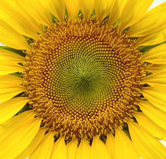 Closeup pollens. Pollen Yellow Flower Sunfower Fresh Nauture Flowers,Plants & Garden Blossom Outdoors Beautiful Bloom