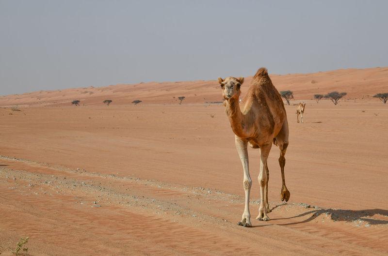 Full length of camels walking in desert against clear sky