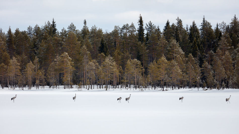 Group of common cranes (Grus grus) on lake ice during spring migration in Northern Finland. Boreal Forest Common Crane Finland Row Of Birds Animal Themes Beauty In Nature Birds Bright Day Cold Temperature Grus Grus Lake Ice Migratory Birds Nature No People Outdoors Scenics Shoreline Sky Snow Spring Migration Standing In Line Tranquility Tree Winter