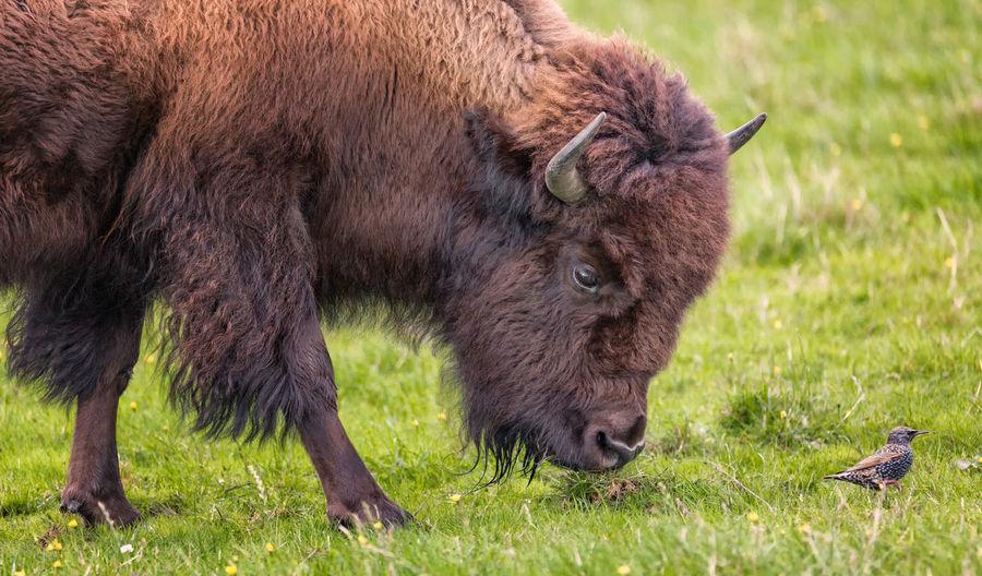 American bison grazing on grassy field by bird