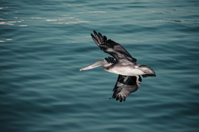Flying Bird One Animal Spread Wings Bird Of Prey Nature Outdoors Animal Wildlife Animals In The Wild Animal Themes No People Water Day Bald Eagle Pelicans In Flight Pelican Pelican Birds Adapted To The City Sea Life Sea View Sea Live For The Story The Great Outdoors - 2018 EyeEm Awards The Art Of Street Photography
