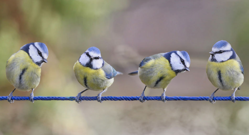 """""""String Quartet"""" Bird Group Of Animals Animal Animal Themes Vertebrate Animal Wildlife Perching Animals In The Wild No People Day Focus On Foreground Close-up Nature Outdoors Yellow Selective Focus Beauty In Nature Three Animals Togetherness Side By Side"""