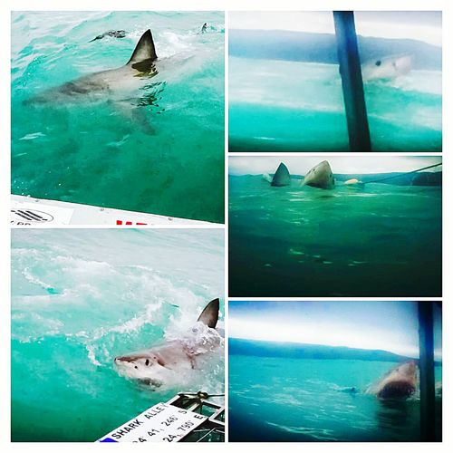 Cage diving at Gansbaai, Western Cape, South Africa NatureShark Diving