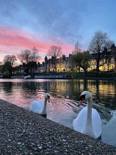 Swan floating on lake during sunset