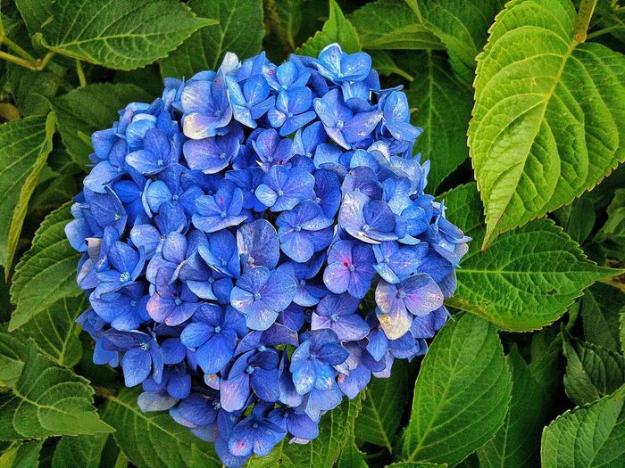 Ortansie Ortensie Fiori Blue Flower Leaf Plant Part Flowering Plant Plant Growth Freshness Hydrangea Beauty In Nature Petal Nature Close-up Inflorescence Fragility Flower Head Vulnerability  Day Purple High Angle View