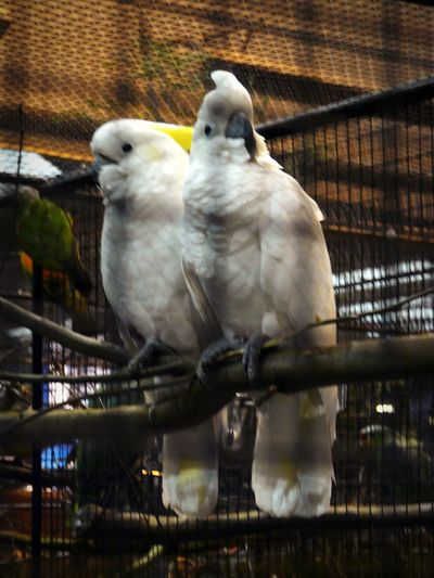 Parrots shoot Cacatoes Yellow Crest Two Birds Proximity White Colors Yellow Touch Birds In Captivity Perching Animal Themes Pets Parrots Birdcage Aviary Vie De Couple Fresh On Market 2018 Birds Photography Vignette