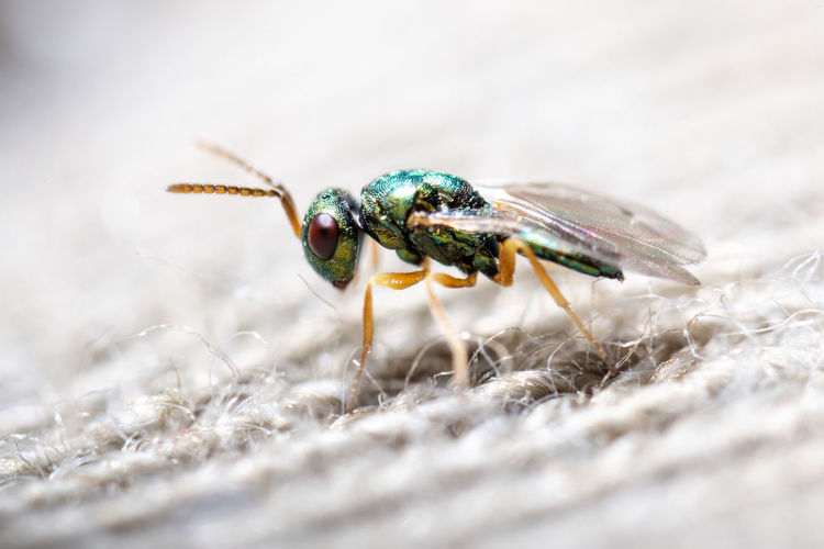 I found this tiny wasp in a box where I kept seeds of some sort of vetch. The larva must have been in the seeds and developed into this wasp... Animal Themes One Animal Animal Animal Wildlife Insect Animals In The Wild Close-up Invertebrate Selective Focus No People Nature Day Animal Body Part Zoology Animal Wing Animal Eye Beauty In Nature Emerald Macro Extreme Close-up Tiny Arthropod Wasp Chalcidoid Wasp Extreme Macro