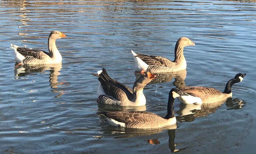 Birds in lake