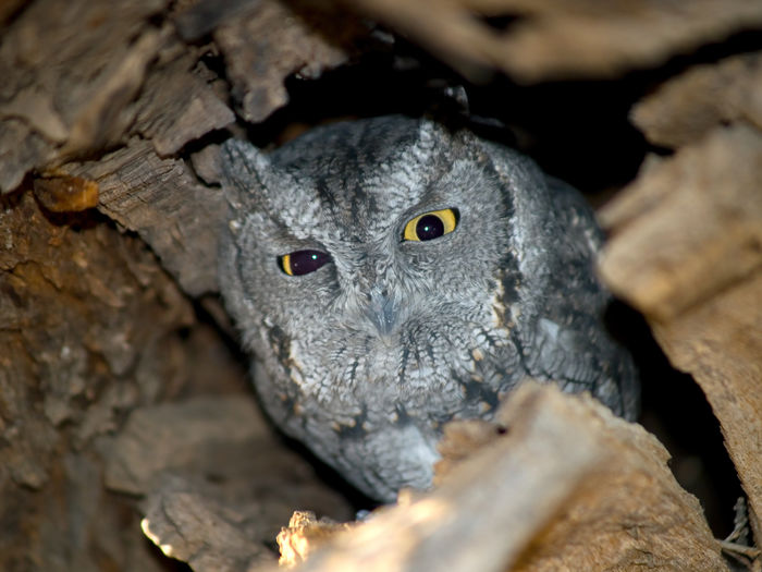 An Arizona Screech Owl in its tree hollow just waking up near sundown. Arizona Wild Animal Animal Wildlife Animals In The Wild Bird Bird Of Prey Close-up Nature No People One Animal Outdoors Owl Owl Eyes Screech Owl Wildlife
