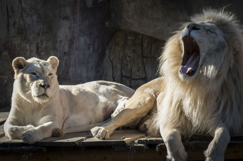 A family of African white lions Beast Dangerous Animals Hunter Animal Themes Beautiful Anumal Day Domestic Animals Indoors  King Of T He Jungle Lioness Mammal No People Predator Roaring Yawning