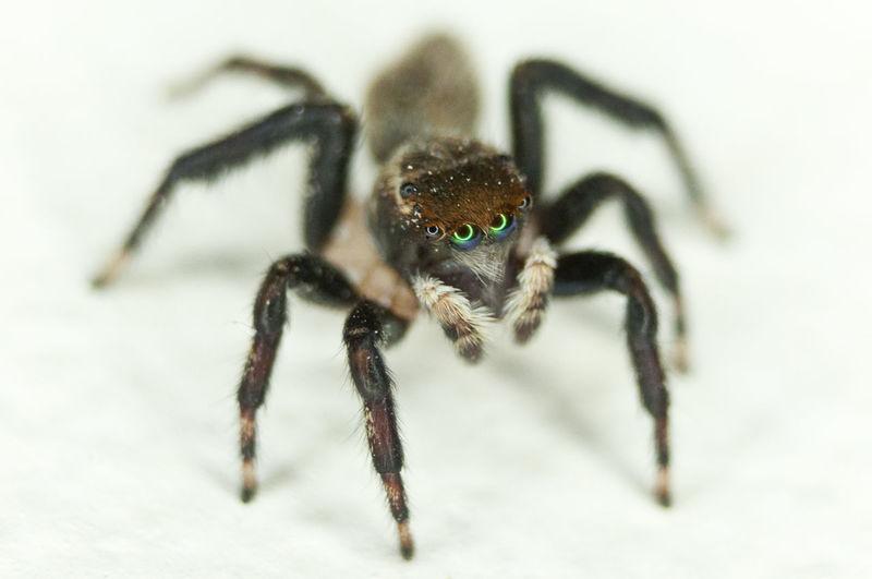 Macro jumping spider Macro Flash Macro Spider Jumping Spider Close-up Arachnid Spider Web Insect Web