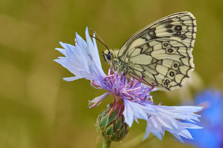 Marbled White Butterfly (Melanargia galathea) on wild cornflower Animal Themes Animals In The Wild Beauty In Nature Butterfly Butterfly - Insect Close-up Cornflower Flower Flower Head Flower, Fragility Freshness Insect Marbled Marbled White Marbled White Butterfly Melanargia Galathea, Nature No People One Animal Outdoors Petal Plant Summer Wildflower