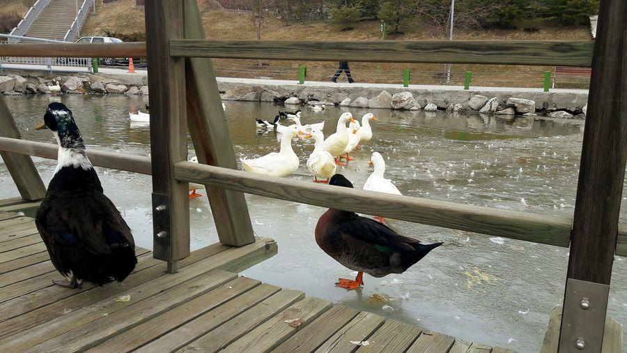 Adapted To The City Lake Day Outdoors No People Ducks Ducks At The Lake Duck In The Lake No Swimming Walking Ordekler yüzmüyor yüzemiyor ama Yürüyoruz der gibiler 😄 Goksugolu Donmus Donmuş Göl Buz üstünde Yürüyüş Ice Frozen Lake Göksu Park Ankara Ankaradayasam