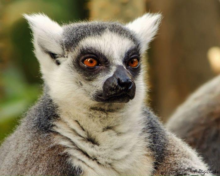 Amaazing Lemurs Animals Nature Wildlife Zoo EyeEm Nature Lover EyeEm Best Shots EyeEm Best Edits EyeEmBestPics Mission Mystery AsDigiClicks
