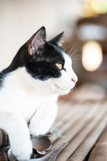 Cat White Black Young Kitten Pet Animal Mammal One Yellow Eyes Face Cute Looking Side View Domestic Feline Kitty Sitting Thai Cat Close Up Vertical Pets Domestic Animals One Animal Domestic Cat Animal Themes Relaxation Indoors  Animal Eye Animal Head  Whisker Looking Away Close-up