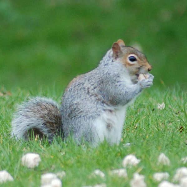 Grey squirrel Eating Pets Squirrel Field Full Length Rodent Close-up Grass Green Color