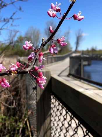 Beauty along the way. Flower Pink Color Beauty In Nature Growth Fragility Nature Day Tree Petal No People Outdoors Freshness Branch Blossom Blooming Springtime Pink Sunlight Taking Photos The Great Outdoors - 2017 EyeEm Awards Pure Michigan Capture The Moment Boardwalk Wetlands Wood - Material