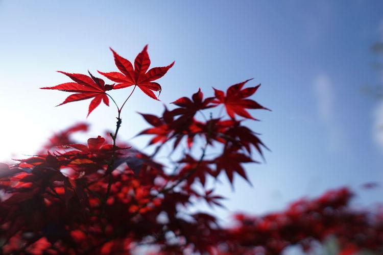 leaf Tree Maple