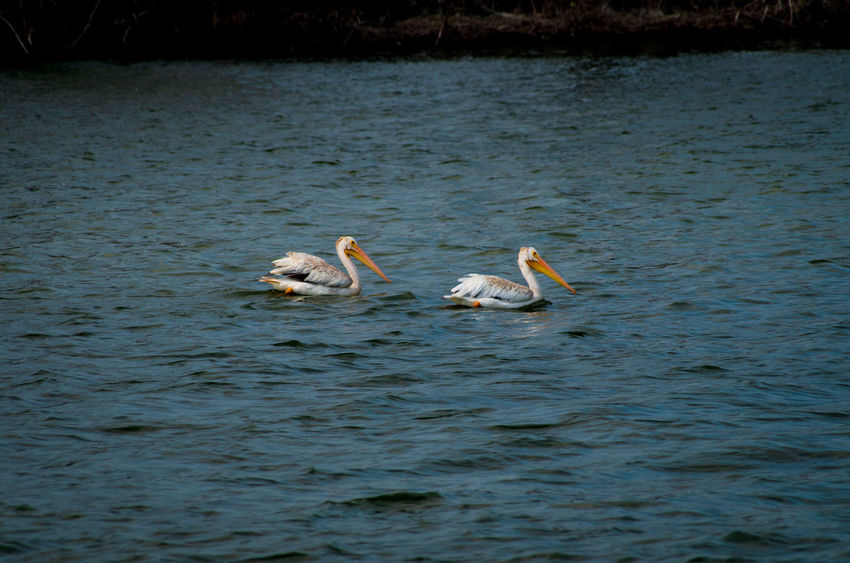Great White Pelicans Animal Animal Family Animal Themes Animal Wildlife Animals In The Wild Bird Cygnet Day Group Of Animals Lake Mute Swan Nature No People Swan Swimming Two Animals Vertebrate Water Water Bird Waterfront Zoology