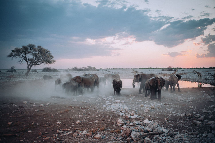 Elephants walking on land during sunrise