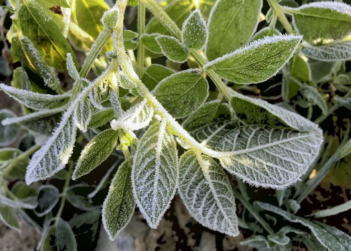 Frosted potato leaves. Potato Leaves Leaf Frost Green Color Winter Close-up Plant Cold Temperature Horizontal Freshness No People Outdoors