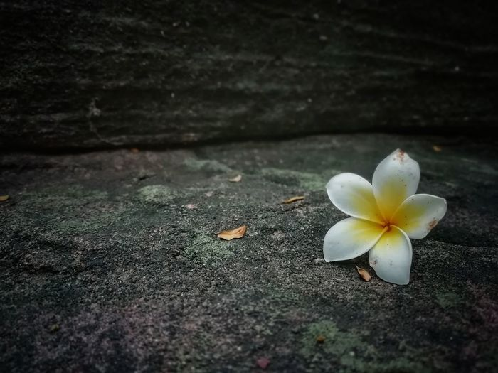 One moment in time Flower Head Frangipani Flower Petal Close-up Plant Life Blooming