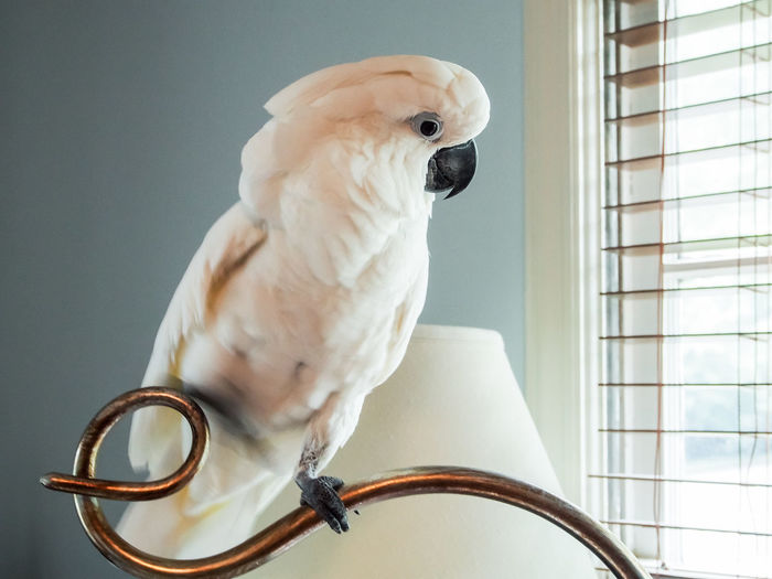 Clara the cockatoo Cockatoo Animal Themes Bird Brass Close-up Day Domestic Animals Exotic Pets Indoors  Lamp Letter E Mammal No People One Animal Parrot Perching Pets White Color