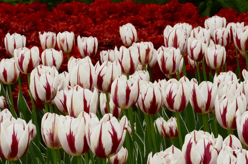Tulip Festival 2016, Ottawa Abundance Beauty In Nature Blooming Botany Canada Canada Coast To Coast Field Flower Focus On Foreground Freshness Full Frame Growing Growth In Bloom Nature No People Ottawa Tulip Festival Outdoors Petal Red And White Tulips Tulip Tulip Festival Tulips Colour Of Life