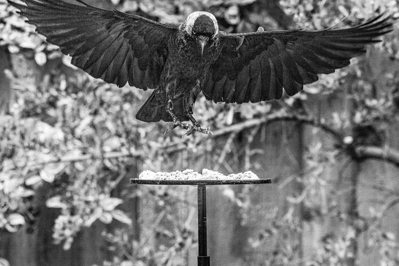 Jackdaw ( corvus monedula) with talons extended coming into land on garden bird table Animal Beak Bird Branch Breakfast Cafe Chair Corvid Corvus Corvus Monedula Crow Curious Ecology Environment Eye Feather  Feathers Fence Food Furniture Gray Habitat Hungry Isolated Jackdaw Jackdaws Lunch Magpie Monedula Nature One Outdoor Outdoors Perching Picnic Table Pigeon Predator Railings Raven Restaurant Rook Sitting Standing Starling Steal Table Thief Wild Wildlife Wing