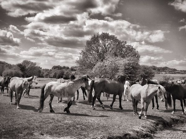 New Forest Conservation Ponies Beautiful View New Forest Pony Horses Countryside Country Views Country Living Countryside Uk New Forest National Park New Forest, Hampshire. UK Beautiful Nature Summertime Black And White Photography Black And White Skies Black And White Ponies Black And White Horse Fine Art Photography Monochrome Photography