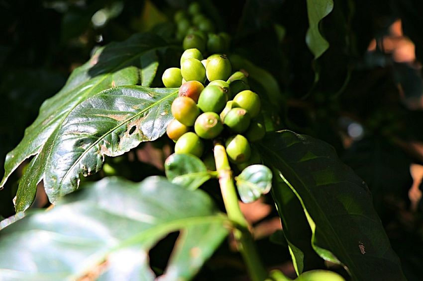Fruit Agriculture Green Color Leaf Nature Close-up Grape Growth Winemaking Freshness Food And Drink Food Tree Outdoors Beauty In Nature Healthy Eating Green Olive No People Day Coffee Tree Coffee Landscape Farm Forest Tree