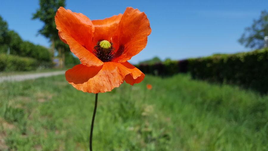 Close-up of orange poppy flower on field