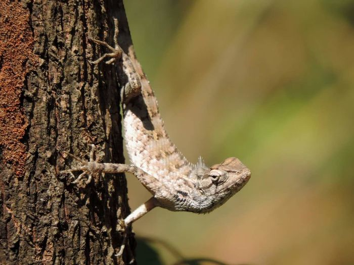 Close-up of bearded dragon on tree trunk