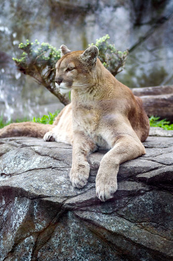 a beautiful cougar sits on a stone ledge in a zoo Animal Animal Themes Animals In The Wild Big Cat Captivity Captivity Of A Wild Best Cougar Dangerous Day Ledge Lioness Mammal No People One Animal Outdoors Relaxation Rock - Object Tree Wildlife