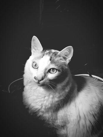Pets Domestic Cat Cat Feline Amor Zico Gato Esperto Beautiful First Eyeem Photo