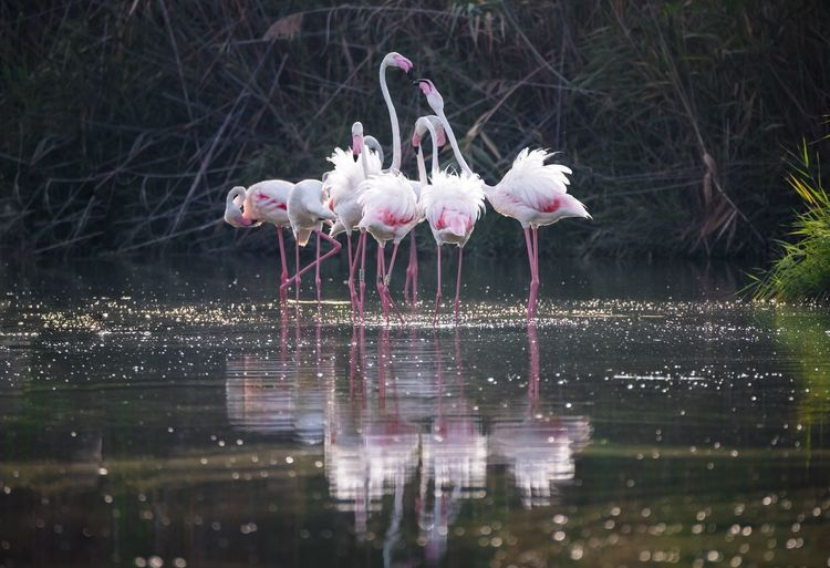 Bird Animals In The Wild Water Animal Wildlife Lake Reflection Animal Themes Flamingo Nature Waterfront Outdoors No People Beauty In Nature Day