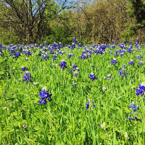 Look at the Blue Bonnets and Tall Grass ! Spring In Texas Spring Flowers Blue Green Nature Texas!!!!