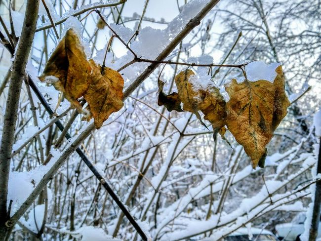 Frozen Leaves of January Winter Cold Temperature Snow Tree Nature Weather Bare Tree Low Angle View Branch Beauty In Nature Day No People Outdoors Growth Sky Close-up 2017 January Blurring Cold