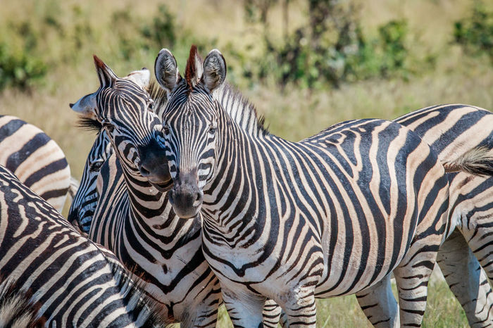 There's always that annoying friend! Animals In The Wild Beautiful Beautiful Nature Burchell's Zebra Nature Nature Photography Travel Traveling Wildlife & Nature Wildlife Photography Wildlife Photos Zebra Africa Animal Themes Animal Wildlife Animals Beauty In Nature Equus Quagga Mammal Safari Safari Animals Striped Wildlife Wildlife And Nature Wildlifephotography